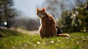 Фотографии Коты Вид сзади Траве Боке Рыжая животное