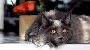 Обои Коты Мейн-кун Серый Взгляд животное