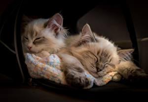 Картинки Коты Рэгдолл Котенок Спит Двое животное