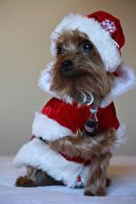 Фото Новый год Собаки Coca-Cola Униформа Йоркширский терьер Дед Мороз Шапки