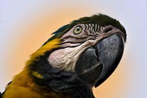 Картинка Крупным планом Птицы Попугаи Ара (род) Клюв Голова