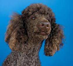 Фотографии Вблизи Собака Цветной фон Смотрит Головы Пуделя Морды Носа