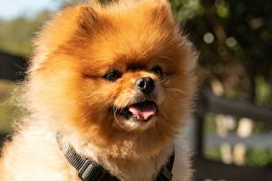 Фотографии Вблизи Собака Голова Шпиц Пушистый Языком Смотрит Морда Pomeranian животное