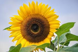 Фотографии Вблизи Подсолнухи Желтых цветок