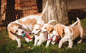 Фото Собака Бигля Щенка Четыре 4 животное