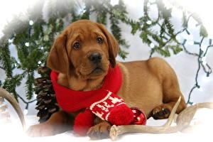 Фотографии Собаки Новый год Щенок Лабрадор-ретривер Шарф Лежит Взгляд Милые Животные