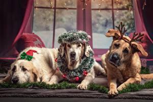 Обои Собаки Новый год Трое 3 Лежит Венок Рога Ретривер Лапы Животные