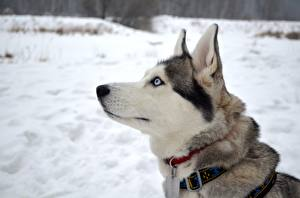 Обои Собака Голова Смотрят Хаски
