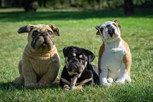 Картинка Собаки Игрушки Трое 3 Траве Бульдога