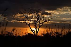 Обои Вечер Рассвет и закат Облачно Дерево Ветвь Силуэта Tanzania Природа
