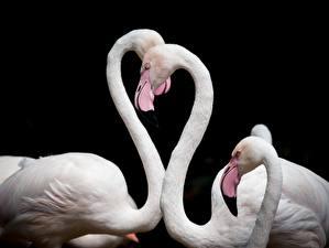Картинки Фламинго Птица Черный фон Белые Сердце животное