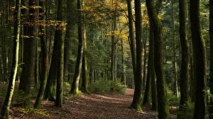 Обои для рабочего стола Лес Осенние Тропинка Дерево Природа