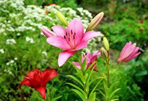 Обои Лилии Розовый Размытый фон цветок