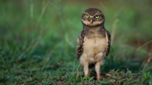 Фотография Совообразные Птицы Athene