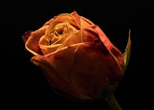 Фотографии Роза Вблизи Черный фон Цветы