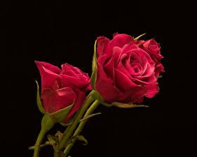 Картинки Роза Вблизи На черном фоне Красных Цветы