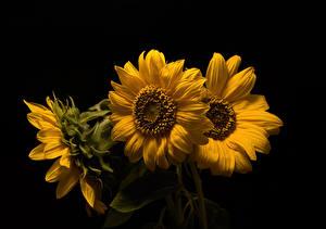 Картинка Подсолнечник Вблизи На черном фоне Втроем Желтая Цветы