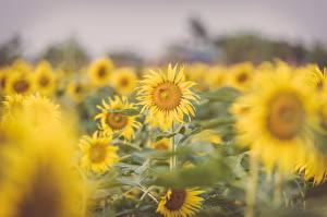 Фотография Подсолнухи Много Размытый фон Желтый цветок