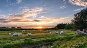 Фотография Рассветы и закаты Луга Овцы Небо Траве Стадо Ограда животное