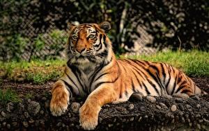 Обои для рабочего стола Тигр Лап Смотрит Лежа животное
