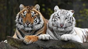 Обои Тигр Двое Лапы Белые Взгляд