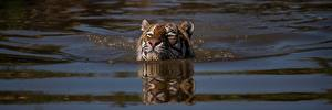 Картинка Тигры Воде Плывет животное