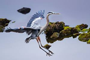 Картинка Вода Птица Цапля Крылья Great Blue Heron Животные