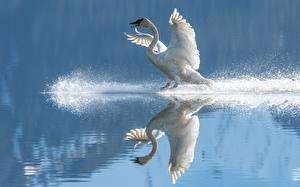 Картинка Воде Птица Лебедь Отражении Крылья С брызгами Белая животное