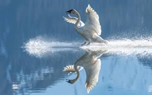 Картинка Воде Птица Лебедь Отражении Крылья С брызгами Белая