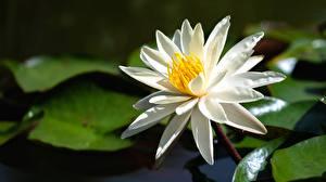 Фотографии Кувшинки Вблизи Белая Цветы