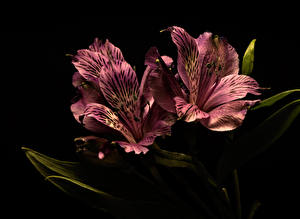 Картинки Альстрёмерия Вблизи На черном фоне цветок