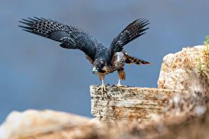Картинки Птицы Сокол Размытый фон Крылья Falco peregrinus животное