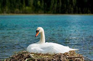 Картинки Птица Лебедь Белая