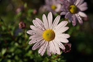 Фотография Ромашка Вблизи Капля Боке цветок