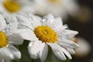 Картинка Ромашки Крупным планом Капля Размытый фон Белая цветок