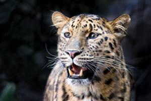 Картинки Клыки Леопард Морды Усы Вибриссы Смотрит животное