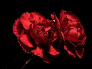 Фотографии Гвоздика Вблизи На черном фоне 2 Красная цветок