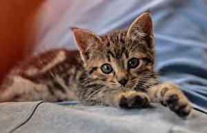 Фото Коты Котенок Лежа Смотрит Лап Миленькие животное