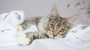 Картинка Кот Мейн-кун Лапы Взгляд Животные