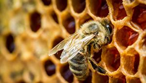 Фотографии Крупным планом Пчелы Насекомые Пчелиные соты животное