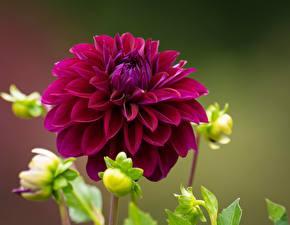 Картинки Вблизи Георгины Бордовая цветок