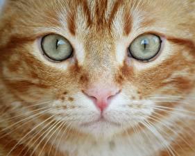Картинка Вблизи Глаза Коты Морды Носа Усы Вибриссы животное