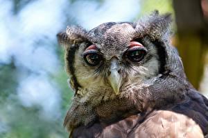 Фото Вблизи Совы Птица Головы Смотрит Клюв животное