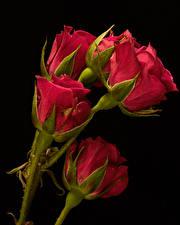 Картинка Крупным планом Роза Черный фон Красный Бутон Цветы
