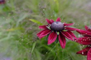 Фото Вблизи Боке Красная Rudbeckia цветок