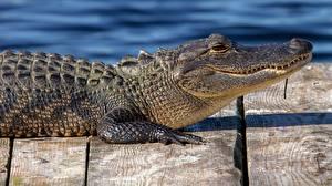 Картинка Крокодил Сбоку Alligator