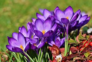 Картинки Шафран Вблизи Фиолетовая цветок