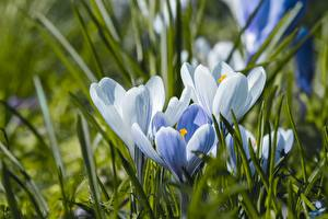 Фотографии Шафран Траве Боке Белая цветок