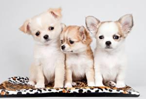 Обои для рабочего стола Собака Чихуахуа Щенки Втроем Смотрит животное