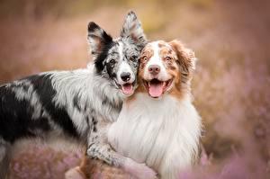 Картинка Собака 2 Аусси Бордер-колли Миленькие Языком Обнимает животное